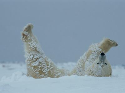 A Polar Bear (Ursus Maritimus) Rolls Through the Snow by Norbert Rosing