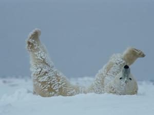 A Polar Bear (Ursus Maritimus) Rolls Through the Snow by Norbert Rosing