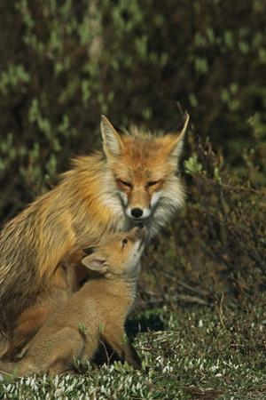 A Red Fox Mother and Her Pup by Norbert Rosing