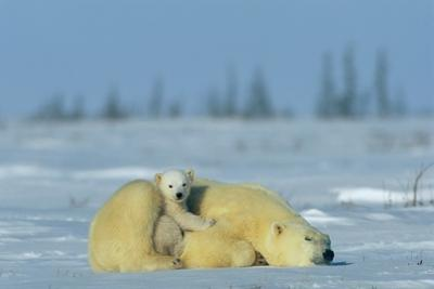 A Sleepy Polar Bear Mother (Ursus Maritimus) Serves As a Protective Bed for Her Cub by Norbert Rosing