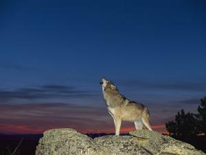 A Wolf Howls at Twilight by Norbert Rosing