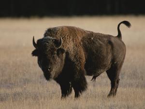 American Bison on Grassland by Norbert Rosing