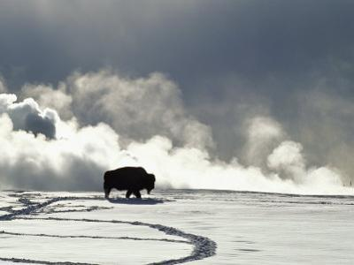 An American Bison Covered in a Coat of Snow by Norbert Rosing
