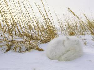 An Arctic Fox Curls up in the Snow for a Nap by Norbert Rosing