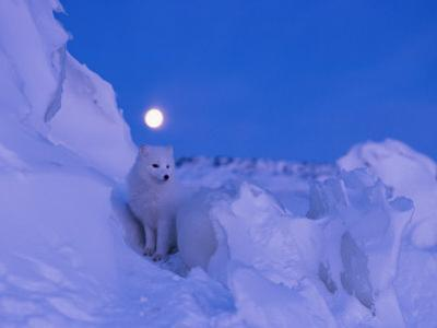 An Arctic fox under a full moon on a February morning by Norbert Rosing