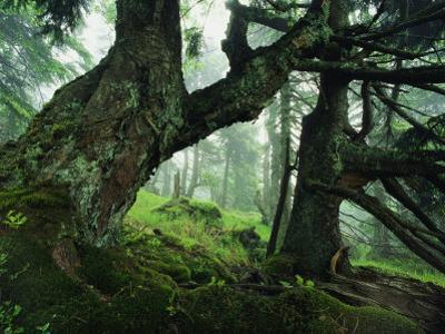 Ancient Fir Trees in Forest by Norbert Rosing