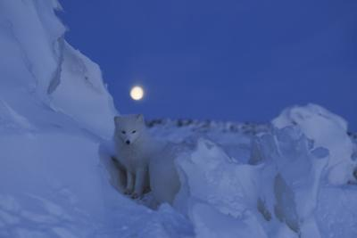 Arctic fox behind chunk of ice under a full moon in early morning. by Norbert Rosing
