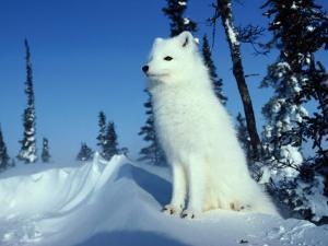 Arctic Fox by Norbert Rosing