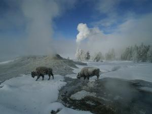 Bison Walking in Front of Lion Geyser in Deep Winter by Norbert Rosing