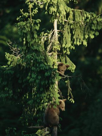 Brown Bear Cubs in Tree, Bayerischer Wald National Park, Germany
