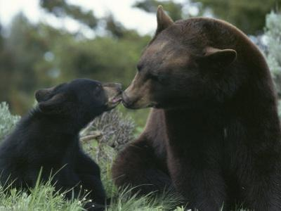 Captive American Black Bear and Cub by Norbert Rosing