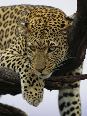 Close View of Leopard in Tree by Norbert Rosing