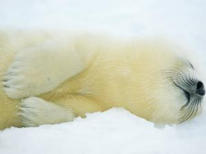 Close View of Sleeping Two-Day-Old Harp Seal Pup by Norbert Rosing