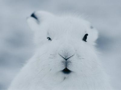 Close View of the Face of an Arctic Hare in Winter by Norbert Rosing