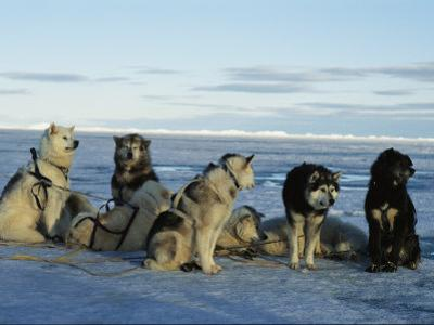 Dogsled Dogs Harnessed and Ready to Head out with Their Musher by Norbert Rosing