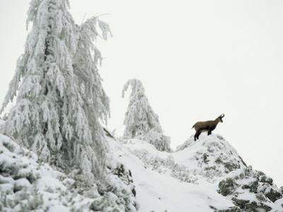 Fir Trees and Chamois in Snow, Berchtesgaden National Park, Germany by Norbert Rosing
