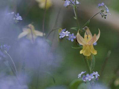 Forget-Me-Not and Yellow Columbine Wildflowers by Norbert Rosing