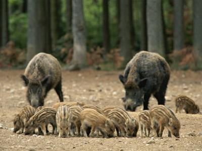 Group of Young Wild Boars Nose the Ground in Front of Two Adults by Norbert Rosing