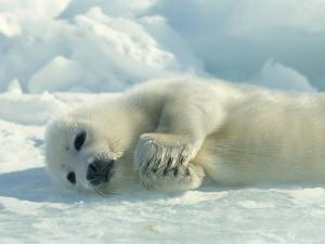 Harp Seal Pup Lies on Its Side on the Ice by Norbert Rosing