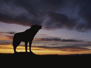 Howling Wolf Silhouetted against Sunset Sky by Norbert Rosing