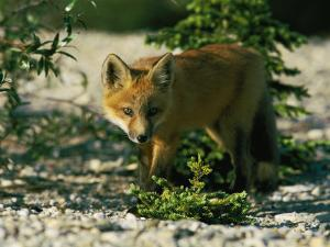 Juvenile Red Fox by Norbert Rosing