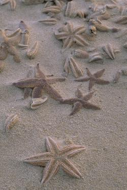 Many Starfish Washed Ashore on the Beach of the Ellbogen Northern Part of the Island by Norbert Rosing