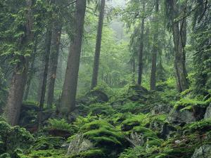Moss-Covered Rocks Fill a Misty Wooded Hillside by Norbert Rosing