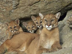 Mountain Lion Mother with Her Young Sits at the Mouth of a Cave by Norbert Rosing