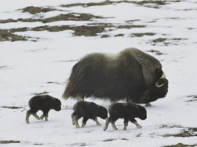 Musk-Ox and Three Calves on the Snow-Covered Tundra by Norbert Rosing