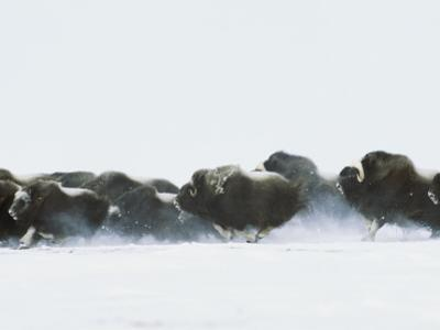 Musk-Oxen, Ovibos Moschatus, Flee from Possible Threat across Tundra by Norbert Rosing