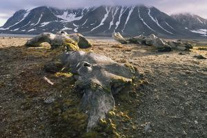 Old Whale Bones on the Shore of Svalbard by Norbert Rosing