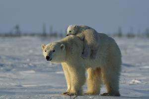 Polar Bear Cub Riding On Its Mother's Back by Norbert Rosing