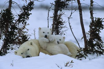 Polar bear resting while her cubs play upon her. by Norbert Rosing