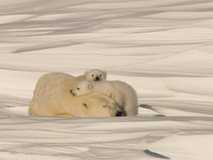 Polar Bear Sleeping with Her Cubs in a Snowy Landscape by Norbert Rosing