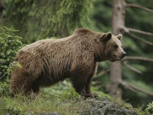 Portrait of a Brown Bear by Norbert Rosing