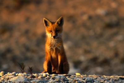 Portrait of a Young Red Fox (Vulpes Vulpes) by Norbert Rosing