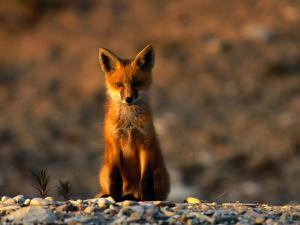 Portrait of a Young Red Fox by Norbert Rosing