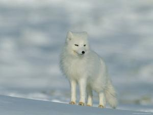 Portrait of an Arctic Fox Near Hudson Bay, Canada by Norbert Rosing
