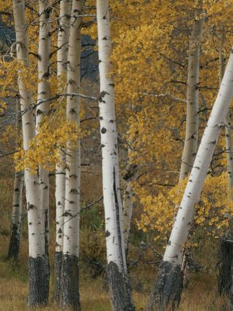 Quaking Aspen Trees in Autumn by Norbert Rosing