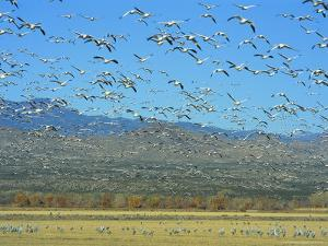 Sandhill Cranes and Snow Geese Take Flight Together by Norbert Rosing