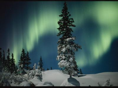 Snow Blanketed Evergreen Trees and the Aurora Borealis at Night by Norbert Rosing