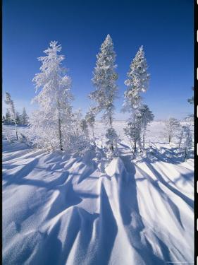 Snow-Blanketed Evergreen Trees in Wapusk National Park by Norbert Rosing