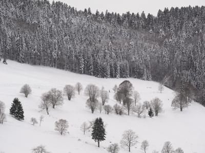 Spruce Tree Forest, European Beech Trees, and Meadow Covered in Snow by Norbert Rosing