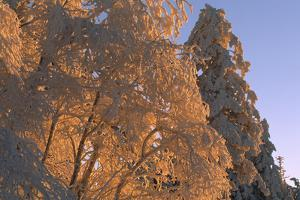 Sunlight on Spruce Trees Covered with Fresh Snow by Norbert Rosing