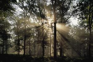 Sunlight through silhouetted trees in a hardwood forest. by Norbert Rosing