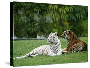 Tigers (Color Photography) Posters for sale at AllPosters.com