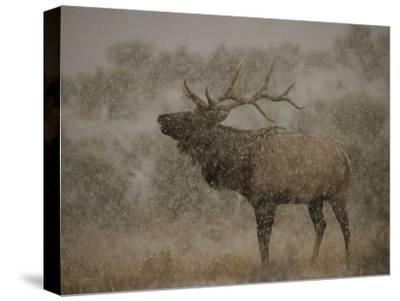 Wapiti, or Elk, Male Amidst Falling Snow by Norbert Rosing