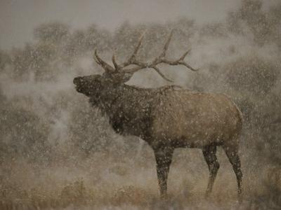 Wapiti, or Elk, Male Amidst Falling Snow by Norbert Rosing