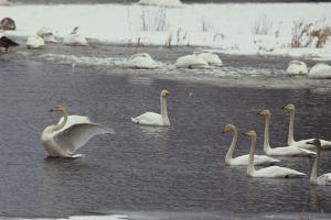 Whooper Swans, Cygnus Cygnus, in Order River by Norbert Rosing