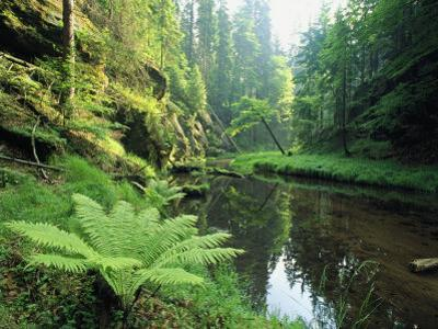 Woodland View with Ferns Along Stream by Norbert Rosing